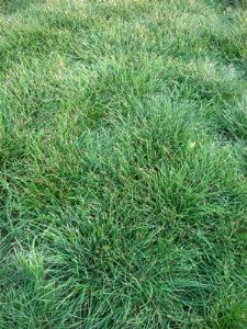 Sheep Fescue 500g - FREE POST