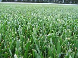Tall Fescue 1KG - FREE POST